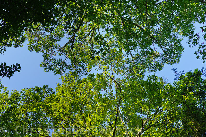 This walnut tree offers a beautiful image of the forest canopy.  Shot taken in Cades Cove near Hyatt Lane.  Image made on  Au...