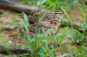 Three-banded courser, Rhinoptilus cinctus, Kruger National Park, South Africa