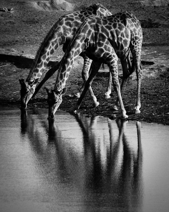 6390-Two_giraffes_drink_in_the_river_Laurent_Baheux