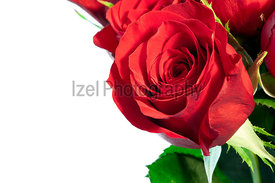 A close up of a red rose and white background.