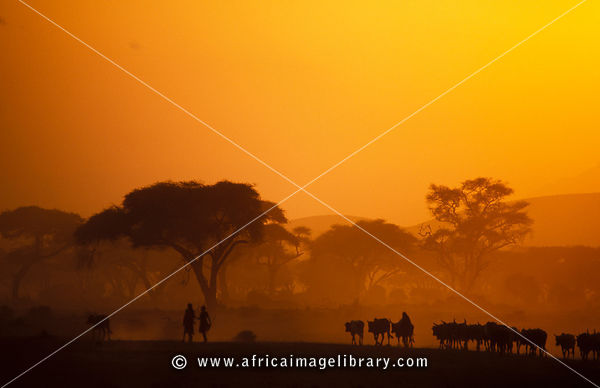 Maasai herding cattle, Amboseli National Park, Kenya