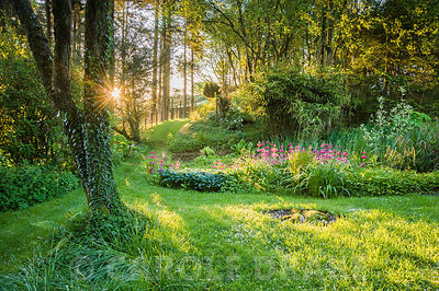 Bog garden illuminated by dawn sunlight includes Primula pulverulenta, hostas, ferns and lysichiton. Windy Hall, Windermere, ...
