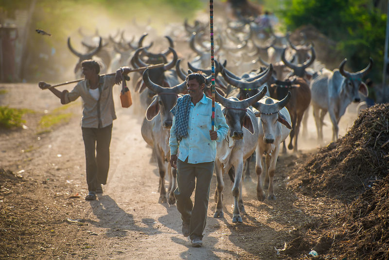 A group of cattle herders take their herd out.