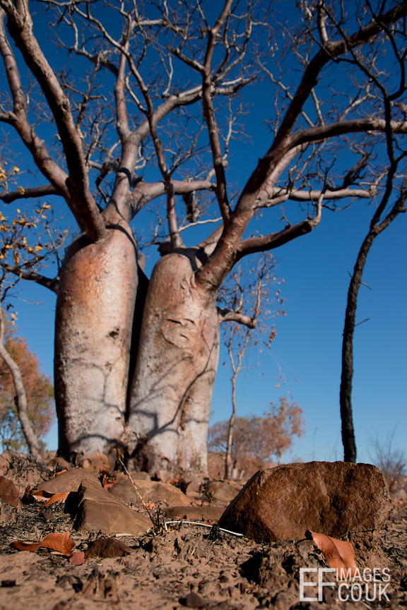 Baobab On Scorched Ground