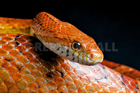 Pantherophis guttata, Red Corn Snake, USA