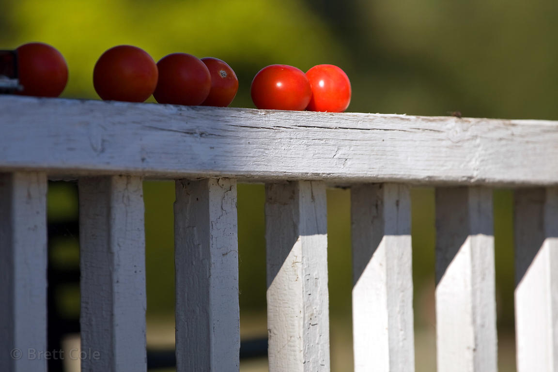 Tomatoes on a fence on a farm in the Adirondacks, New York