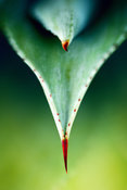 Aloe thorn and leaf macro