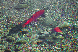Female Sockeye Salmon Digging Redd along Adams River