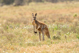 kangaroo_red_buck_standing-2