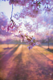 Cherry Blossom at Dawn