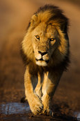 Lion (Panthero leo), Serengeti National Park, Tanzania