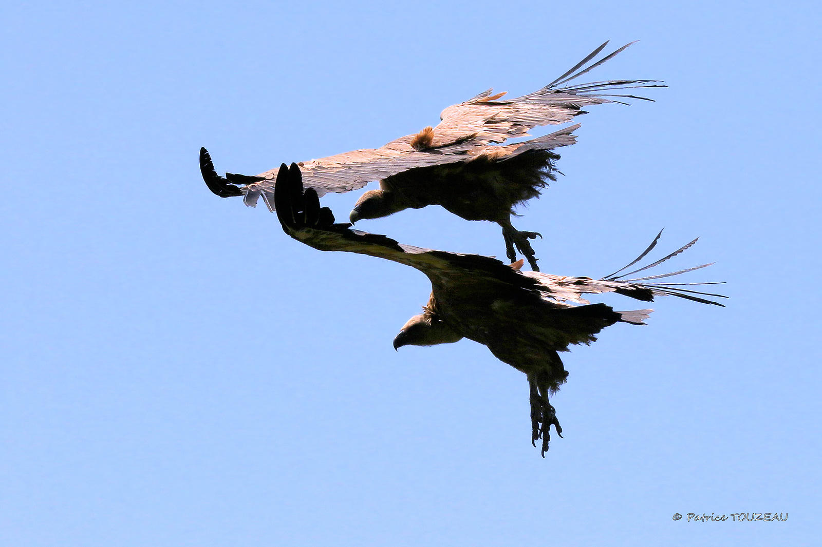 Photos of griffon vultures in french mountain
