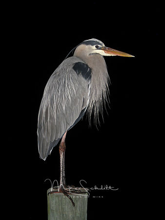 Florida_Gray_Heron_night_flash_tweeked