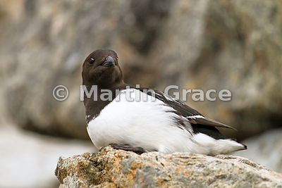 Little Auk (Alle alle) at the nesting colony on Fuglesongen, Svalbard