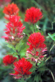 Red Paintbrush in the wildflower meadows along the Pacific Crest Trail, Goat Rocks Wilderness, Washington Cascades