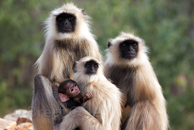 A family of langur monkeys including a tiny infant, Pushkar, Rajasthan, India