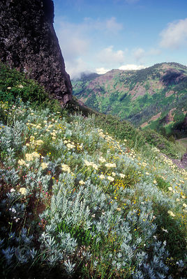 Mountain Sage and other wildlfowers on the summit of Cone Peak in the Old Cascades, Oregon.