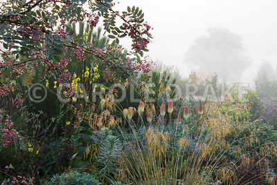 Border includes Stipa gigantea, euphorbia, kniphofias and other herbaceous plants below pine and sorbus trees. Waterperry Gar...