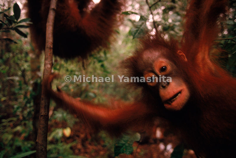 Orangutan emerging from tree- Orangutans are shy and defenseless creatures.