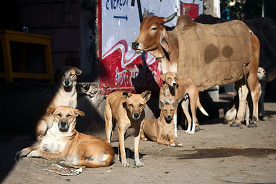 Cow and a group of stray dogs in Pushkar, Rajasthan, India