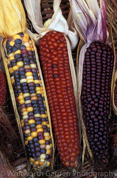 Varieties of coloured Zea mays (maize). © Jo Whitworth