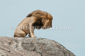 lion_male_settling_down_kopje_2