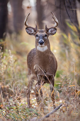 Whitetail buck standing in tall grass.