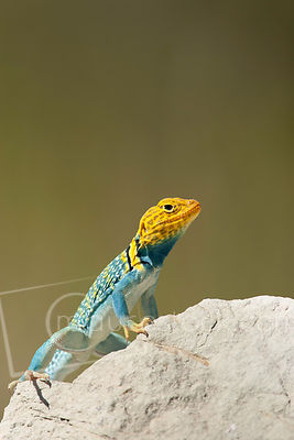 Survival for many reptiles depends on their ability to escape predators. Collared lizards can run upright and have been clock...