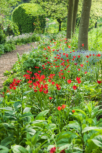 Vivid red Tulipa sprengeri mix with forget-me-nots and white flowered Paeonia emodi below an avenue of oaks. The Old Rectory,...
