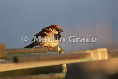 House Sparrow (Passer domesticus) in evening sunlight, Darwin, East Falkland