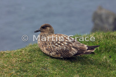 Great Skua (Bonxie) (Stercorarius skua, Catharacta skua) sitting on the edge of the cliff-top, Hermaness National Nature Rese...