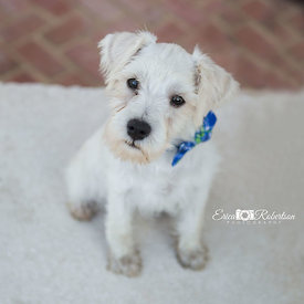 Minature.schnauzer.puppy.white.fur