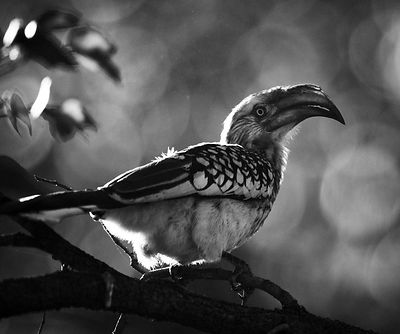 8522-Bird_Laurent_Baheux