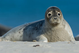 Grey seal on the Dune - Helgoland