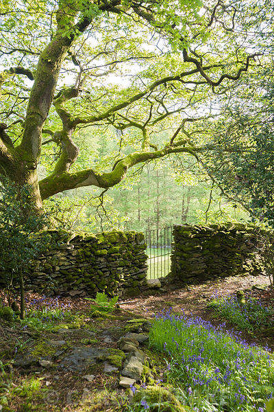 Drystone wall running between woodland garden and adjoining field with oak and bluebells. Windy Hall, Windermere, Cumbria, UK