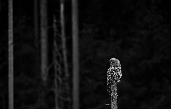 Lappugle, great grey owl (Strix nebulosa)