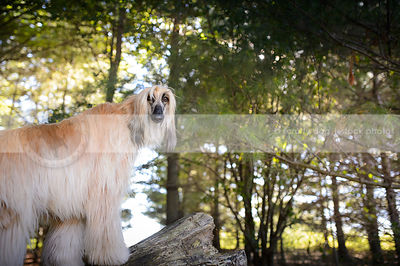 blond afghan hound dog staring from forest of pine trees