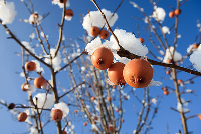 Unidentified berries on a small tree in Winter, Green Farm Park, Montgomery County, Maryland