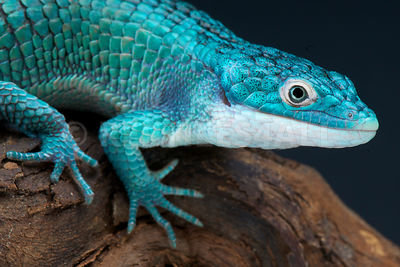 Arboreal alligator lizard (Abronia graminea)
