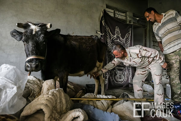 A bemused cow stands in a house in Badush while an Iraqi Army Soldier demonstrates questionable milking technique. 1st May 2017