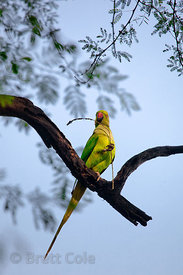 Parakeet in Keoladeo National Park, Bharatpur, India
