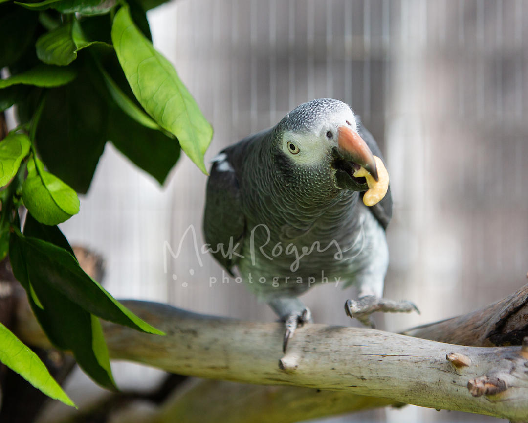 African Grey Parrot Walking on Perch with Nut