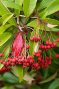 Photinia berries. Exbury Gardens, Exbury, Hants, UK