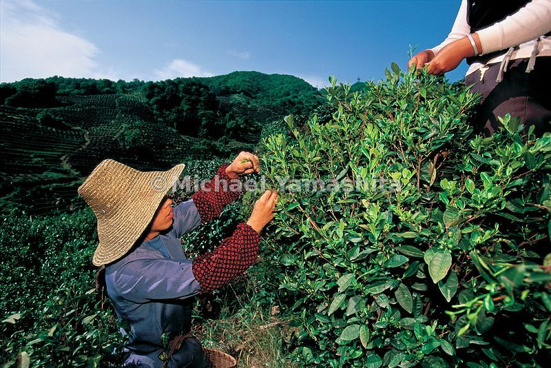 The imperial tea gardens in Hangzhou still produce China's most precious teas. Zheng He helped spread the culture of tea arou...