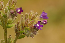 Ossetong - Anchusa officinalis
