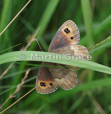 Under side of male Scotch Argus butterfly (Erebia aethiops) resting on grass, Scottish Highlands, Cairngorms National Park, B...