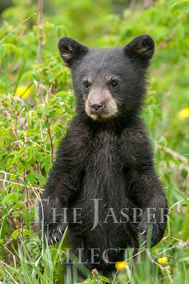Black Bear Cub Standing In Dandelion