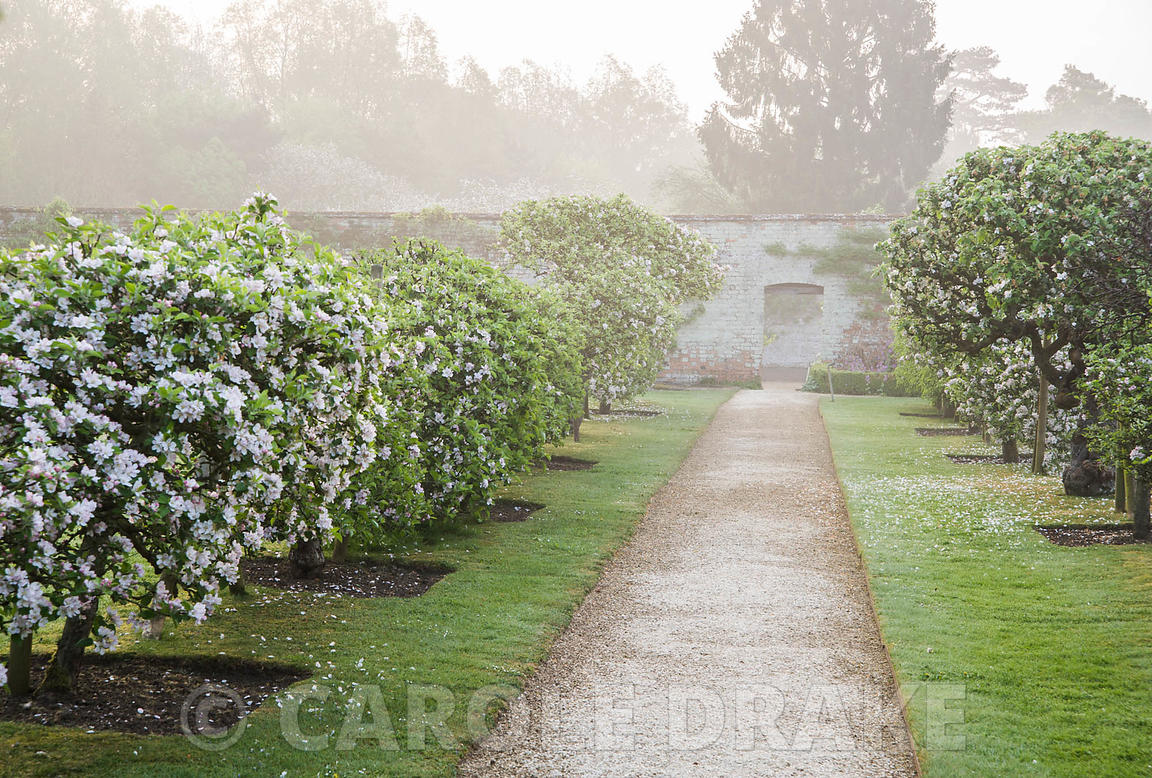 Lines of espaliered apple trees in the Walled Garden. Rousham House, Bicester, Oxon, UK