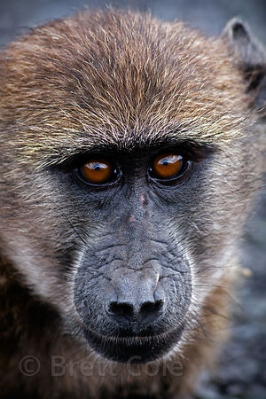 Portrait of a juvenile chacma baboon from the Groot Olifantsbos (Scarborough) troop, on the beach at Olifantsbos, Cape Penins...