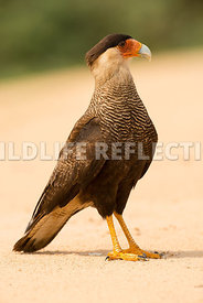 caracara_three_brothers_beach-12